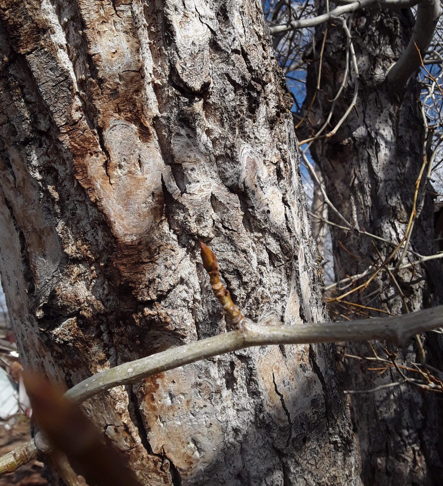 Cottonwood tree in late winter