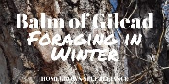 Balm of Gilead - Foraging in Winter