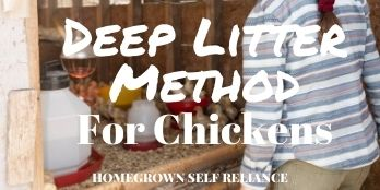 Deep litter method for chickens