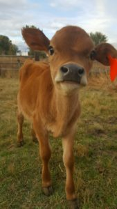 Starting a Homestead - Raising beef cattle - Grow your own food - Homegrown beef