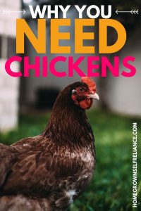 Why you need chickens