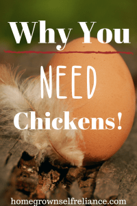 Do you want chickens? Here is a great post that lists the benefits to keeping a flock of backyard chickens. #chickens #backyardchickens #fresheggsdaily