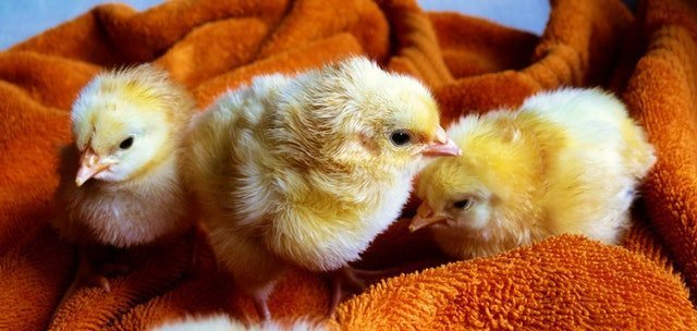 Why you NEED chickens! Read this post to find out the top 7 reasons why you need chickens on your homestead (or in your backyard).