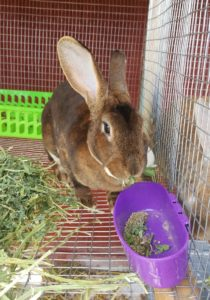 Meat rabbits - a sustainable protein for the small homesteader