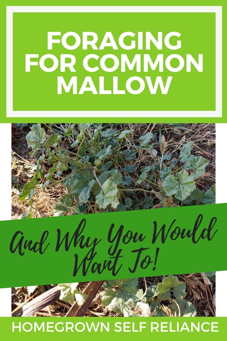 Common mallow, Foraging Common Mallow, and Why You Should