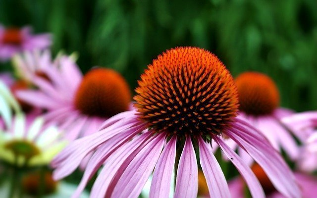 Echinacea is good for colds and flu