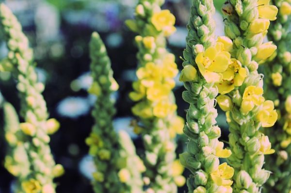 Mullein is an excellent cold and flu remedy