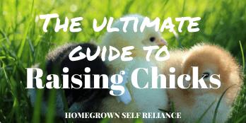 Raising chicks for beginners