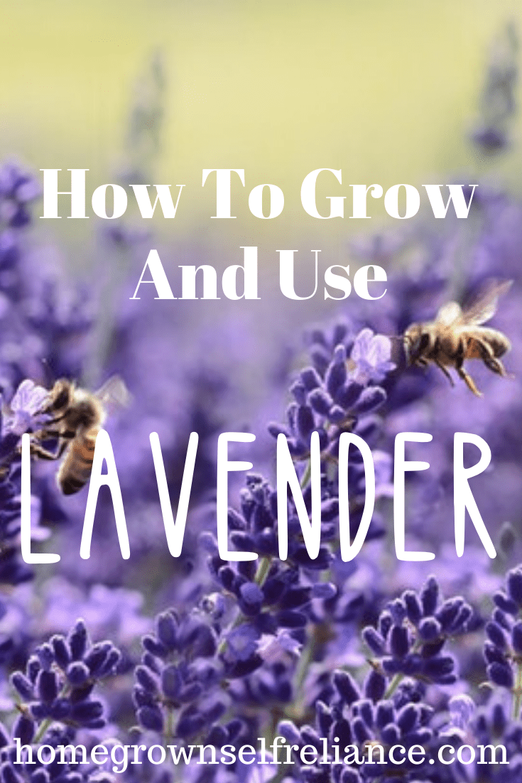 Do you love lavender? It's a wonderful soothing herb that everyone should have in their apothecary. Here is how you can grow it yourself, and use it in your own DIY medicine! #herbal #herbgardening #diyhealth