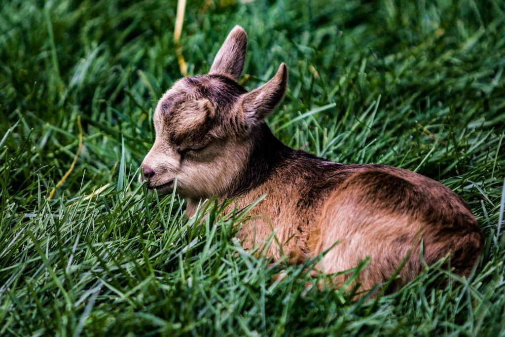 Goat disbudding - baby goat kid with horn nubs