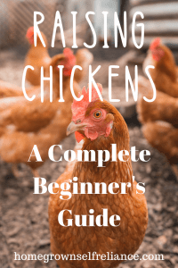 Backyard chickens are making a huge splash in popularity today. But how do you raise chickens? Read here to find easy tips on raising healthy, happy chickens! #backyardchickens #fresheggsdaily #chickens #chickensforbeginners
