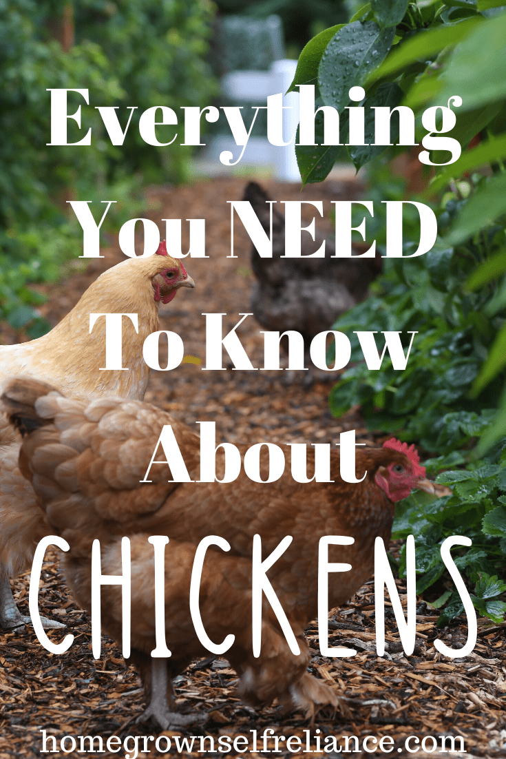 Do you dream of having backyard chickens? Here is everything you need to know before you get started! #backyardchickens #chickens #farmlife #homesteading