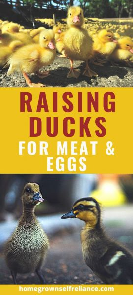 Have you ever wanted to raise ducks? Read here about the pros and cons of raising ducks, to see if backyard ducks are right for you! #ducks #farmanimals