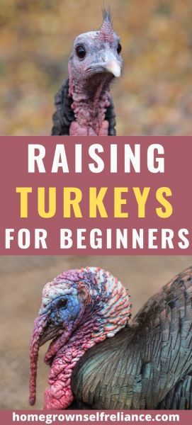 Do you want to raise turkeys, but don't know where to start? Here is a complete guide to raising happy, healthy turkeys. #turkeys #selfreliance