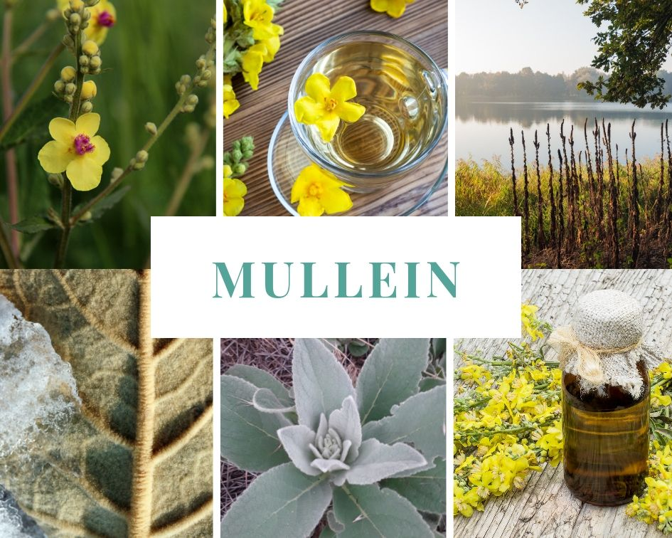 Different stages of mullein