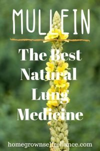 Mullein tea is the best natural lung medicine that you can forage. Find out here how to find it, pick it, and use it in your own DIY medicine. #foraging #diyhealth #diymedicine