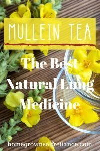 Mullein leaves and flowers steeped into a healing tea