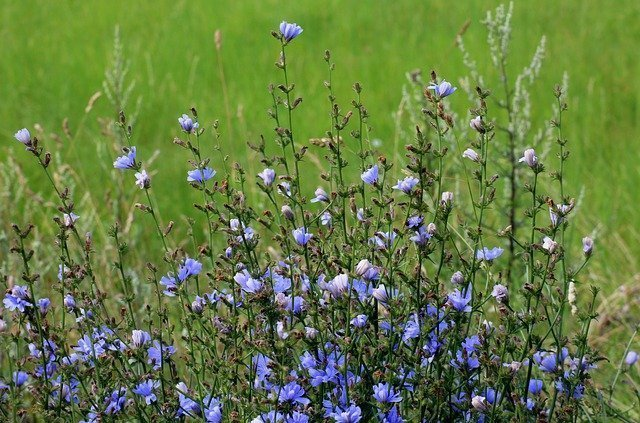 Chicory root in medicine