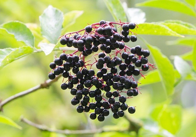 Elderberries are another one of my favorite herbal remedies