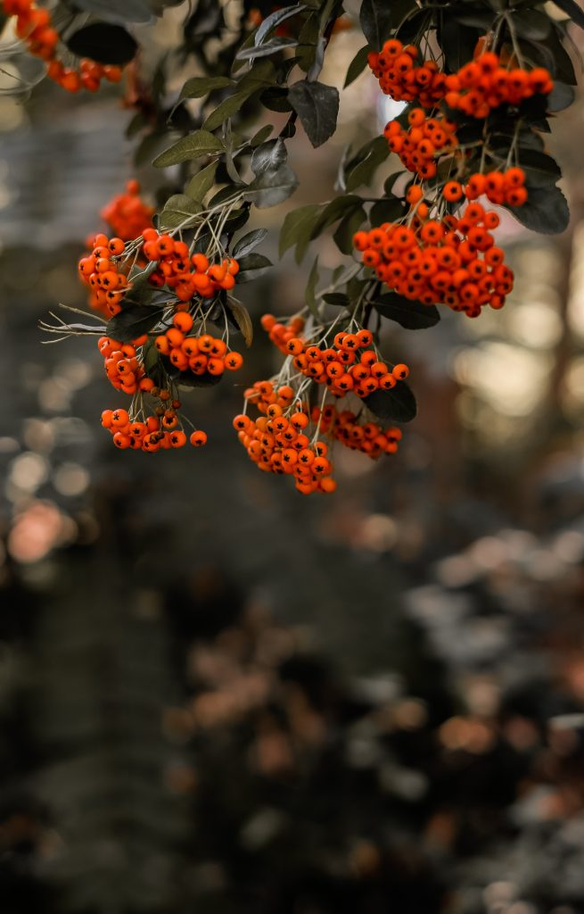 Hawthorn for herbal remedies