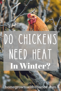 Do your chickens need heat in the winter? Read this post to get all the details of keeping chickens healthy and happy in the winter! #backyardchickens #chickens #fresheggsdaily