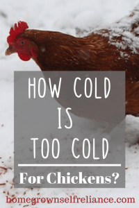 How cold is too cold for chickens? Learn this and more tips on keeping chickens warm and healthy through the winter, here! #chickens #backyardchickens #fresheggsdaily