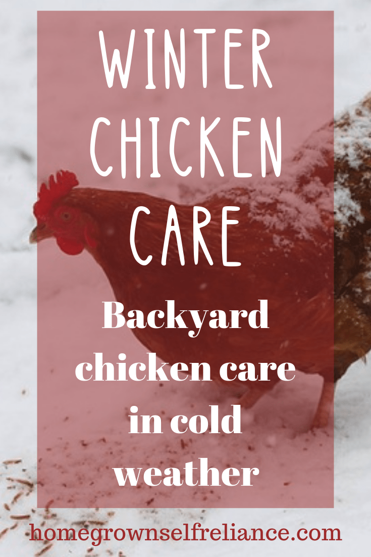 Worried about your chickens this winter? Taking care of backyard chickens in the winter is actually quite easy! Check out these great tips on winter chicken care. #backyardchickens #chickens #fresheggsdaily