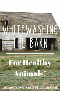 Have you ever thought about whitewashing the barn? You should, it's cheap, easy, and has lots of benefits. Check them out here! #farmlife #oldbarn