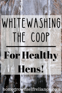 Have you ever whitewashed your coop or barn? It's cheap, easy, and has lots of benefits for your flock! Check out the benefits here! #chickens #backyardchickens #farmlife