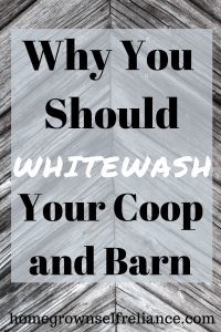 Have you ever considered whitewashing your coop or barn? It actually has lots of benefits. Check them out here! #whitewashing #farmlife #homesteading
