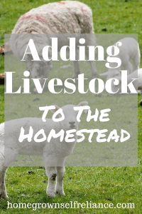 Adding livestock to the homestead can be tricky. Here are our best tips to making it easier! #homesteading #farmlife #farmanimals