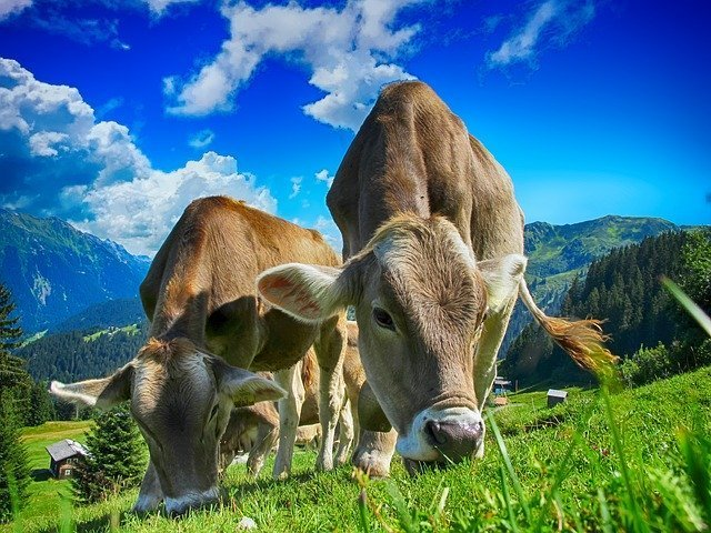 cows in green pasture