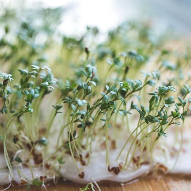 Sprouts are fast growing vegetables