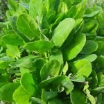 Foraging lambsquarters