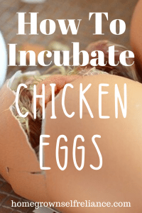 Do you have chickens and want to grow your flock? Why not try incubating? Here is our best tips to incubating chicken eggs. #fresheggsdaily #chickens #chicks