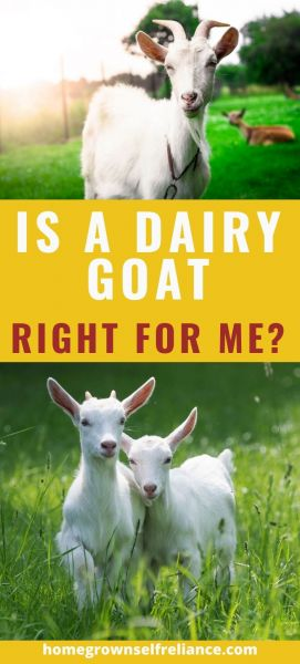 Would you like to add a dairy animal to your homestead to increase your self reliance? Why not try goats? There are lots of good reasons to add goats to the farm, check them out here! #farmlife #selfreliance