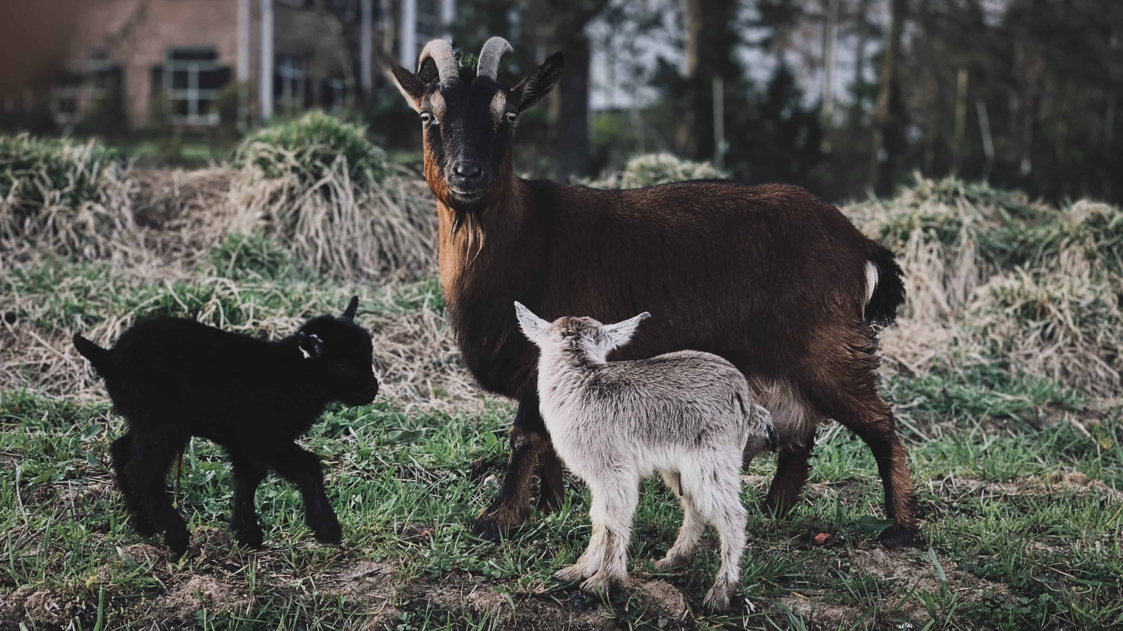 dairy goat, Is A Dairy Goat Right For Me?
