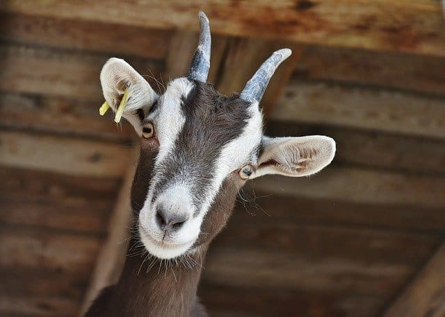 Young Toggenburg goat