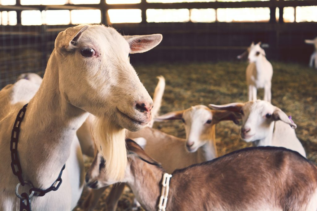 An alpine goat is another popular dairy goat