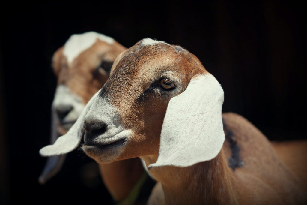 A nubian goat is a popular dairy goat