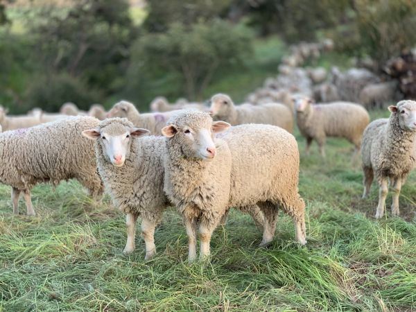 Sheep can help you raise a years supply of meat