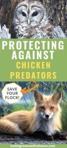 Do you have chickens? Learn the most common predators, and how to protect your backyard flock against them. #backyardchickens #fresheggsdaily