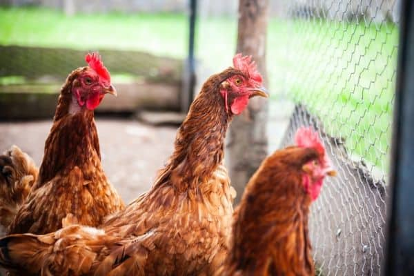 Chickens should be secured for their safety
