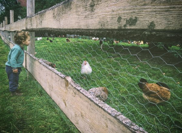 Build a secure coop to protect from chicken predators