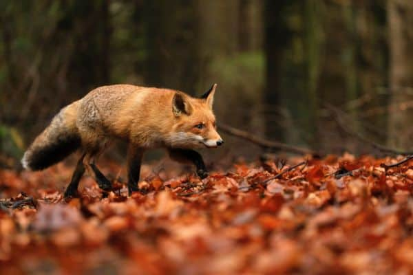 Foxes are common chicken predators