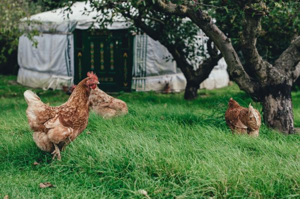 Raising chickens is one of the best ways to start homesteading