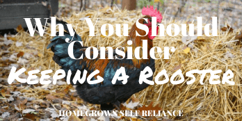 Why you should consider keeping a rooster