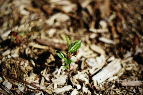Mulch in the garden helps to control weeds