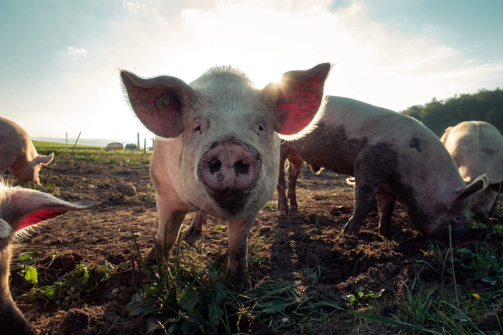 Pigs can cause issues with manure management