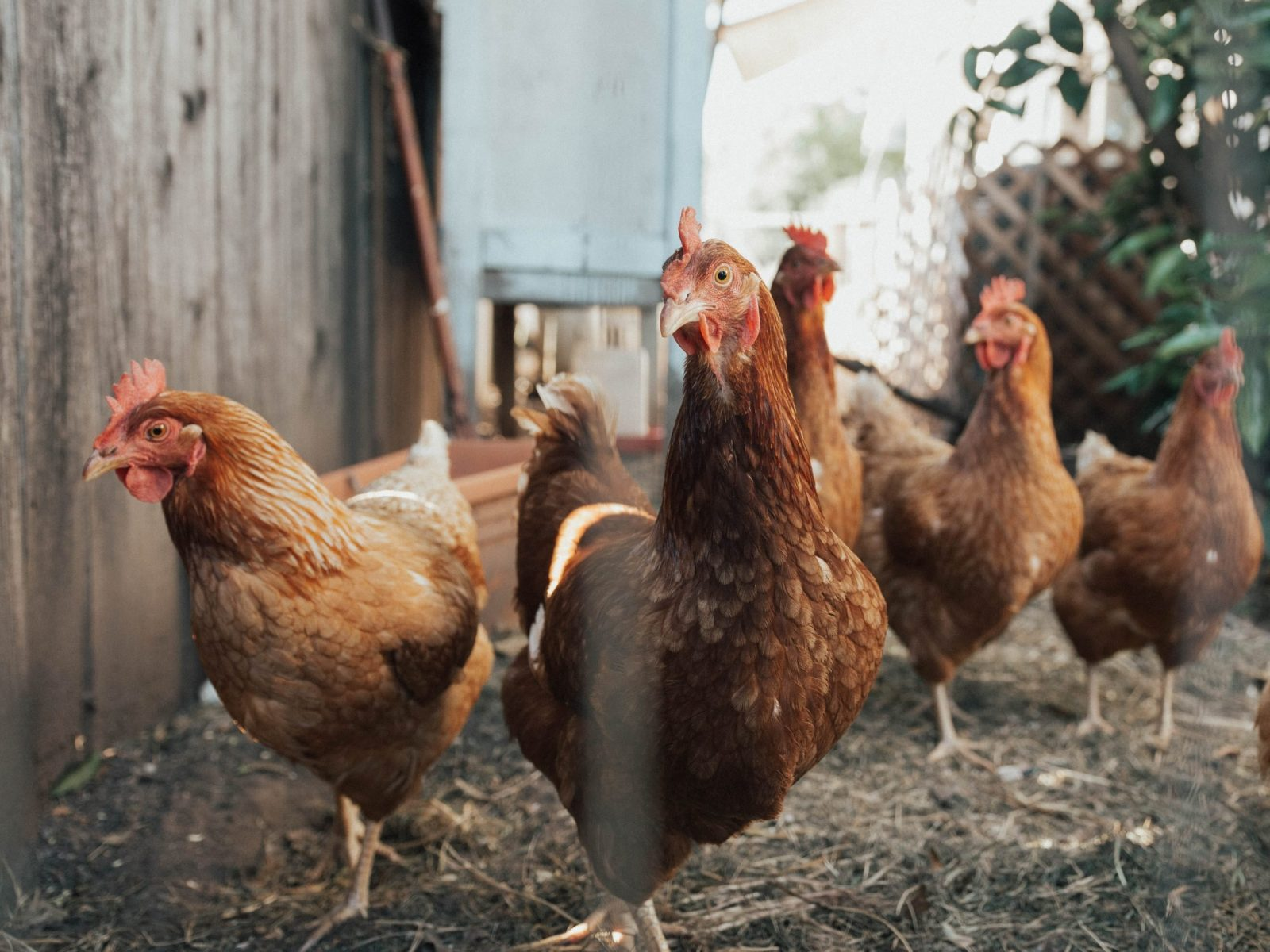 Chicken manure is the best fertilizer